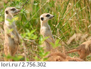 Купить «Сурикаты (Suricata suricatta)», фото № 2756302, снято 12 июля 2011 г. (c) Алёшина Оксана / Фотобанк Лори