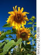 Купить «Подсолнухи», фото № 2760886, снято 22 августа 2011 г. (c) FotograFF / Фотобанк Лори