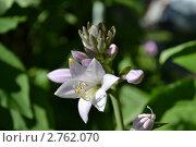 Цветок хосты. Стоковое фото, фотограф Мария Кобылина / Фотобанк Лори
