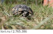 Купить «Черепаха в траве», видеоролик № 2765386, снято 24 сентября 2010 г. (c) Кирилл Трифонов / Фотобанк Лори