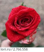 Роза. Стоковое фото, фотограф Вера Пустовалова / Фотобанк Лори