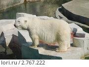 Купить «Белый медведь (Ursus maritimus)», эксклюзивное фото № 2767222, снято 3 июля 2011 г. (c) Алёшина Оксана / Фотобанк Лори
