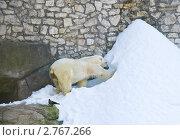 Купить «Белый медведь  роет берлогу в снегу (Ursus maritimus)», эксклюзивное фото № 2767266, снято 3 июля 2011 г. (c) Алёшина Оксана / Фотобанк Лори