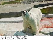 Купить «Белый медведь (Ursus maritimus)», эксклюзивное фото № 2767302, снято 3 июля 2011 г. (c) Алёшина Оксана / Фотобанк Лори