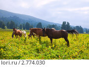 Купить «Горный пейзаж с табуном лошадей. Алтай», фото № 2774030, снято 19 июля 2011 г. (c) Яков Филимонов / Фотобанк Лори