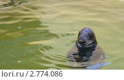 Купить «Тюлень», видеоролик № 2774086, снято 10 августа 2011 г. (c) Алексас Кведорас / Фотобанк Лори