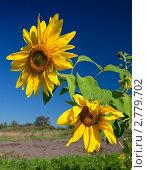Купить «Подсолнухи на фоне синего неба», фото № 2779702, снято 28 августа 2011 г. (c) FotograFF / Фотобанк Лори