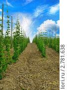 Купить «Плантации хмеля», фото № 2781638, снято 12 июня 2011 г. (c) Алексей Сергеев / Фотобанк Лори
