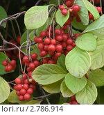 Созревшие ягоды лимонника на ветке. Стоковое фото, фотограф Екатерина Жукова / Фотобанк Лори