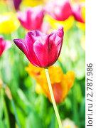 Купить «Тюльпаны в парке», фото № 2787986, снято 11 мая 2011 г. (c) Elnur / Фотобанк Лори