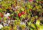 Спелая красная брусника, фото № 2788770, снято 16 августа 2011 г. (c) Евгений Ткачёв / Фотобанк Лори