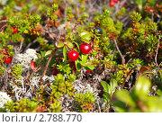 Купить «Спелая красная брусника», фото № 2788770, снято 16 августа 2011 г. (c) Евгений Ткачёв / Фотобанк Лори