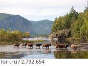 Купить «Коровы, идущие через реку», фото № 2792654, снято 26 августа 2011 г. (c) Tamara Sushko / Фотобанк Лори