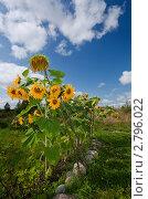 Купить «Красивые подсолнухи в поле», фото № 2796022, снято 21 августа 2011 г. (c) FotograFF / Фотобанк Лори
