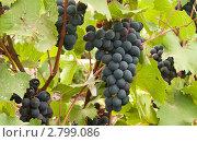 Купить «Грозди винограда», фото № 2799086, снято 24 августа 2010 г. (c) Максим Лоскутников / Фотобанк Лори
