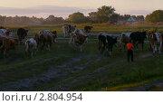 Пастух гонит коров в деревню. Стоковое видео, видеограф Игорь Тирский / Фотобанк Лори