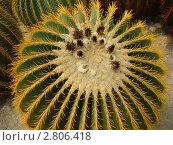Тропический кактус. Стоковое фото, фотограф Баландина Эльвира Альбертовна / Фотобанк Лори
