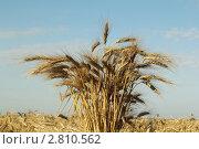 Пучок колосьев на фоне поля и неба. Стоковое фото, фотограф Геннадий чупругин / Фотобанк Лори