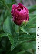 Купить «Пион в росе», фото № 2811742, снято 1 июля 2010 г. (c) Пересыпкина Елена Игоревна / Фотобанк Лори