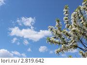 Вишня в цвету. Стоковое фото, фотограф Вересов Сергей Николаевич / Фотобанк Лори