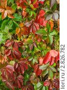 Купить «Девичий виноград пятилисточковый (Parthenocissus quinquefolia). Фон», эксклюзивное фото № 2826782, снято 25 сентября 2011 г. (c) Александр Алексеев / Фотобанк Лори