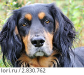 Купить «Портрет охотничьей собаки», фото № 2830762, снято 26 сентября 2011 г. (c) Татьяна Кахилл / Фотобанк Лори
