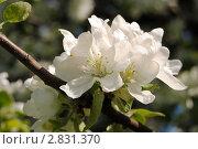 Белые цветы яблони. Макро. Стоковое фото, фотограф Беляева Елена / Фотобанк Лори