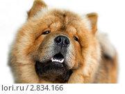 Купить «Портрет чау-чау на белом фоне ( малая глубина резкости, фокус на носу)», фото № 2834166, снято 25 сентября 2011 г. (c) RedTC / Фотобанк Лори