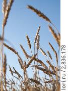 Колосья пшеницы. Стоковое фото, фотограф Шарипова Лилия / Фотобанк Лори