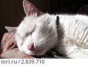 Спящий белый кот крупным планом. Стоковое фото, фотограф Oksana Oleneva / Фотобанк Лори