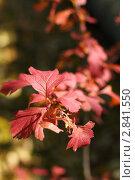 Осенние листья. Стоковое фото, фотограф Умуд  Асланов / Фотобанк Лори