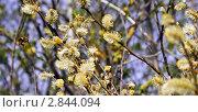 Шмель в мае летает вокруг цветущих почек. Стоковое фото, фотограф Попонина Ольга / Фотобанк Лори