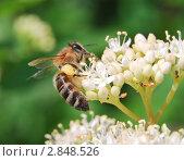 Купить «Сбор нектара пчелой с цветка дёрена белого (Сornus alba)», эксклюзивное фото № 2848526, снято 7 июня 2009 г. (c) Алёшина Оксана / Фотобанк Лори