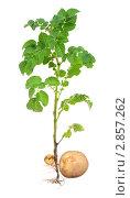 Картофельный куст с клубнями. Стоковое фото, фотограф Дмитрий Сечин / Фотобанк Лори