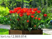 Красные тюльпаны в саду. Стоковое фото, фотограф Александра Прохорова / Фотобанк Лори