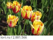 Купить «Тюльпаны сорта World Expression», фото № 2881566, снято 15 мая 2010 г. (c) Losevsky Pavel / Фотобанк Лори