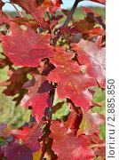 Красные листья. Стоковое фото, фотограф Выбиранец Елена / Фотобанк Лори