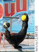 Купить «Большой Утриш. Дельфинарий. Морской котик держит два мяча», фото № 2887630, снято 23 сентября 2011 г. (c) Вячеслав Беляев / Фотобанк Лори