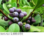 Синие ягоды. Стоковое фото, фотограф Наталья Свирина / Фотобанк Лори