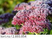 Цветущий очиток пурпурный в инее. Стоковое фото, фотограф Екатерина Егоркина / Фотобанк Лори