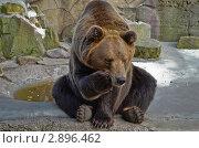 Европейский бурый медведь сидит. Стоковое фото, фотограф Выбиранец Елена / Фотобанк Лори