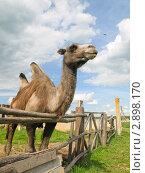 Купить «Двугорбый верблюд, устремленный в будущее», фото № 2898170, снято 19 июня 2010 г. (c) Роман Шаповалов / Фотобанк Лори