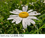 Цветок ромашки в каплях дождя. Малая глубина резкости. Стоковое фото, фотограф Владимир Сергеев / Фотобанк Лори
