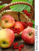 Купить «Красные яблоки и калина», фото № 2899282, снято 23 октября 2011 г. (c) Марина Сапрунова / Фотобанк Лори
