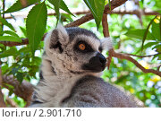 Купить «Лемур на дереве», фото № 2901710, снято 20 июня 2011 г. (c) Черенкова Ирина / Фотобанк Лори
