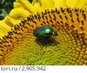 Жук бронзовка на соцветии подсолнуха. Стоковое фото, фотограф Алексей Одиноких / Фотобанк Лори