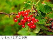 Купить «Красная смородина. (Ribes rubrum)», эксклюзивное фото № 2912866, снято 3 июля 2010 г. (c) Алёшина Оксана / Фотобанк Лори