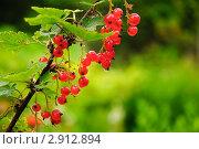 Купить «Красная смородина. (Ribes rubrum)», эксклюзивное фото № 2912894, снято 3 июля 2010 г. (c) Алёшина Оксана / Фотобанк Лори
