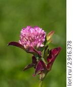 Купить «Розовый клевер», фото № 2916378, снято 28 августа 2011 г. (c) Олег Рубик / Фотобанк Лори