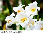 Купить «Белые лилии», фото № 2925102, снято 18 июля 2009 г. (c) Дмитрий Наумов / Фотобанк Лори